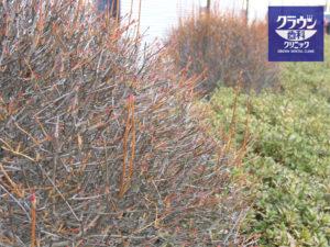 冬芽のドウダンツツジ