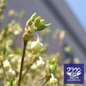 ドウダンツツジの新芽がでました!