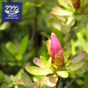 5月の花、サツキ