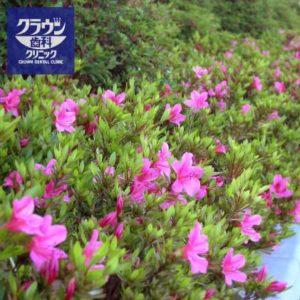 サツキの開花