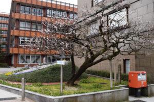 市役所前の桜