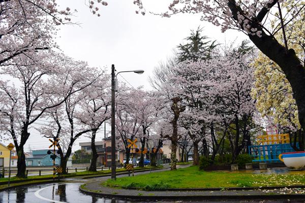 交通公園の桜