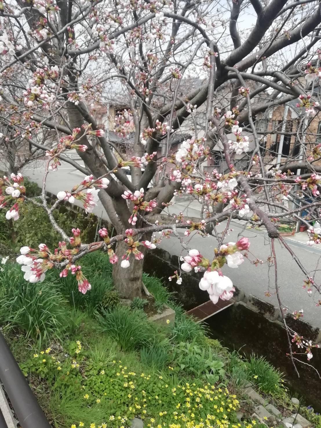 2020桜開花